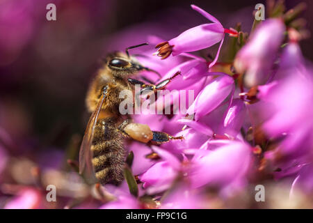 Erica carnea 'Pirbright Rose' Abeja de miel cerca abeja en flor