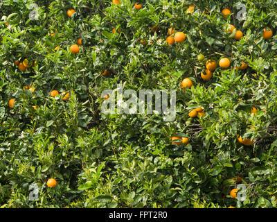 Las naranjas en su árbol, vibrantes colores verde y amarillo, en un jardín en Tenerife, Islas Canarias