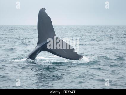 Cola de ballena jorobada buceando en el océano