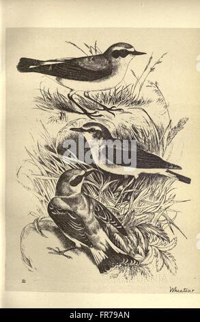 Aves de Moidart y en otros lugares (Lámina 28).