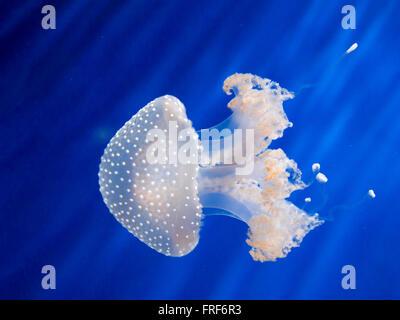 Moteado Blanco australiano (Phyllorhiza punctata ) Medusa nadando en agua azul