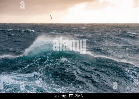 Un albatros volando sobre las olas altas en extremadamente accidentado del mar en el Océano Austral, cerca de las Islas Malvinas, Territorio británico de ultramar, América del Sur