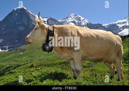 Retrato de parda alpina vaca (Bos taurus) con cencerro en prados alpinos, Alpes Suizos, Suiza