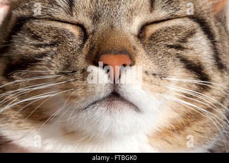 Gato doméstico, durmiendo, Retrato