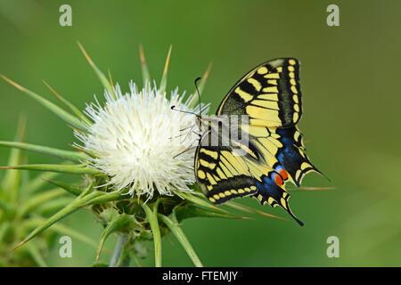 Especie de mariposa Papilio machaon - - en una espina flor