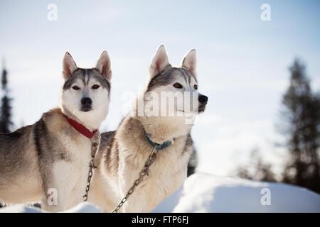 Huskies pasar tiempo al aire libre en Laponia, Finlandia