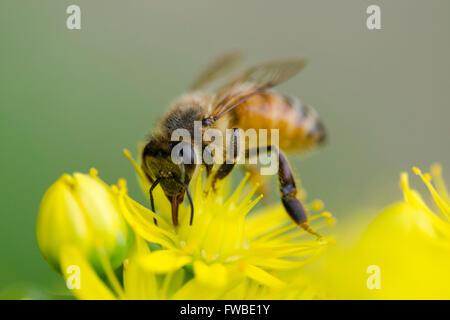 Abeja Foto de stock