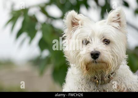 Un lindo West Highland White Terrier, también conocido como Westie Foto de stock