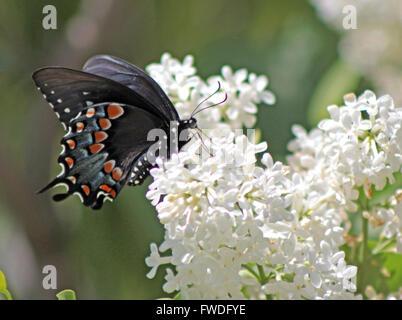 Especie Spicebush Butterfly, Connecticut Foto de stock
