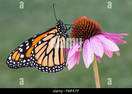 Mariposa monarca Danaus plexippus adulto descansando sobre Purple Coneflower (Echinacea purpurea), Michigan, EE.UU. Foto de stock