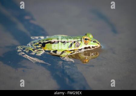 La rana verde comestible en la aguas del lago.