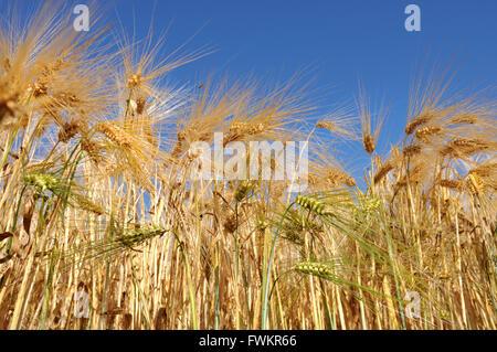 Campo de maíz dorado bajo un cielo azul