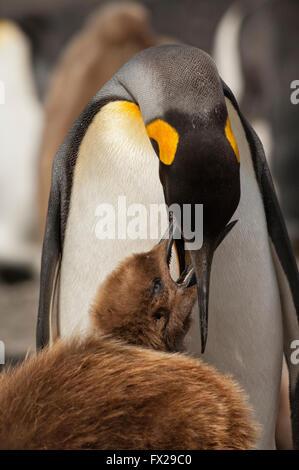 Alimentando un polluelo de pingüino rey (Aptenodytes patagonicus), Saint Andrews Bay, Isla Georgia del Sur