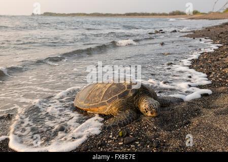 Ee.Uu., Hawai, Isla Grande, en Kona, Parque Nacional Histórico de Kaloko-Honokohau, tortugas de mar, sobre la playa,