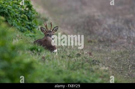 Buck El Corzo (Capreolus capreolus), también conocido como el corzo occidental toma descanso. La primavera. Uk