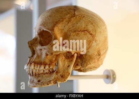 El Homo Sapiens Sapiens. Humana moderna. Cráneo.