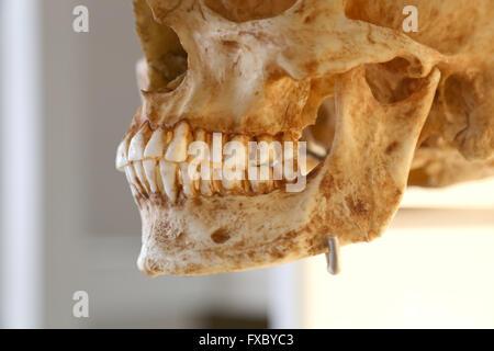 El Homo Sapiens Sapiens. Humana moderna. Cráneo. Mandíbula.