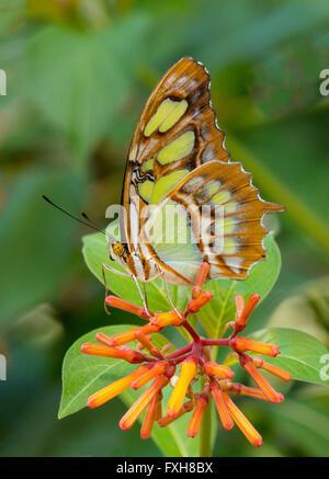 Malaquita Siproeta stelenes butterfly tomadas en fincas de mariposas en Fort Myers Flkorida