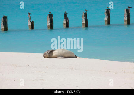 La foca monje hawaiana, Neomonachus schauinslandi, especies críticamente amenazadas, endémicas de Hawai, isla de arena, el Atolón de Midway, EE.UU.