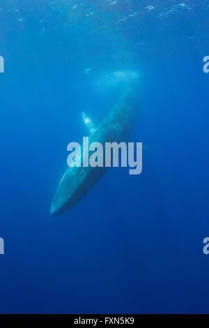 Rorcual común, finback whale, razorback, o common rorqual, Balaenoptera physalus, buceo, el Santuario Pelagos para Mediterráneo Marin