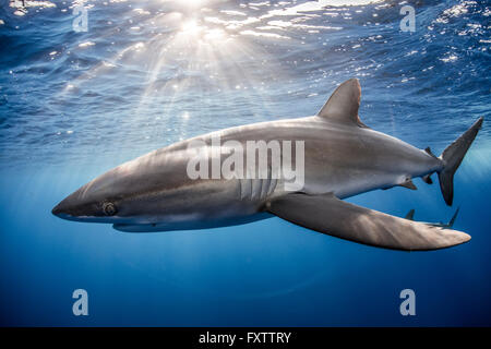 El tiburón sedoso (Carcharhinus falciformis) nadando cerca al fotógrafo
