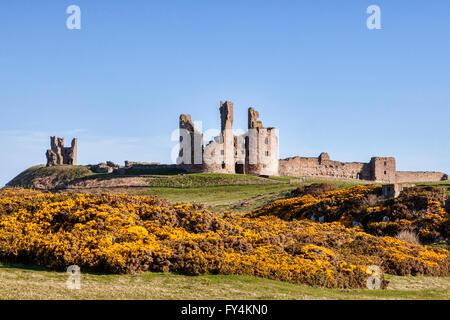 Castillo de Dunstanburgh en primavera, con amarillo tojo en flor, Northumberland, Inglaterra, Reino Unido.