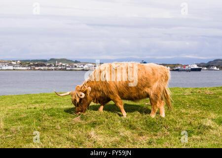 Highland ganado, vaca, Port Ellen, en la Isla de Islay, Inner Hebrides, Scotland, Reino Unido Foto de stock