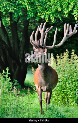Ciervo rojo (Cervus elaphus), velvet cornamenta, cautiva, Renania del Norte-Westfalia, Alemania