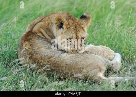 León hermoso en la hierba de Masai Mara, Kenya