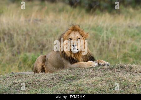 Cerrar león en el parque nacional de Kenya, Africa. Foto de stock