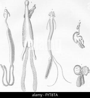 Crustáceos: pez-piojos, grabado antiguo 1896