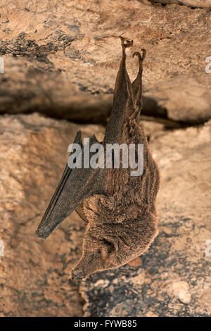 Menor Long-Nose Bat hibernando (y cubierto de polvo) - Leptonycteris yerbabuenae
