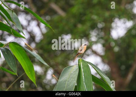 "Beautifu Brown actuación en ""The Shrike"" sentado en brancós en bosque Foto de stock"