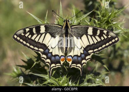 Papilio machaon, especie de mariposa de Europa