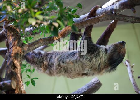 Linneo dos dedos cada sloth (Choloepus didactylus), también conocido como el sur de dos dedos cada perezoso en el Zoológico de Dresde, Sajonia, Alemania.