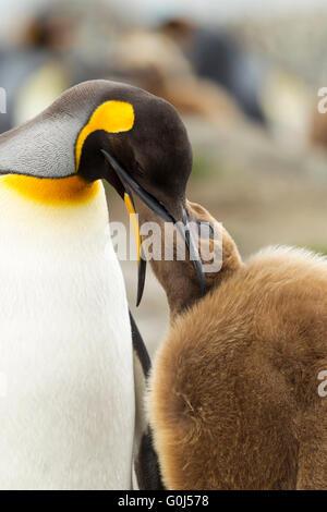 Pingüino Rey Aptenodytes patagonicus adulto alimentándose chick, St Andrew's Bay, South Georgia en enero.