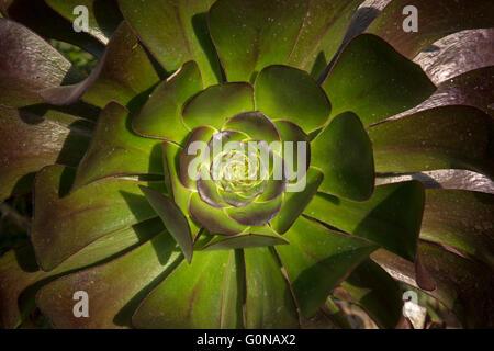 Aeonium arboreum. El árbol aeonium, árbol houseleek o Irish Rose, es una planta suculenta, subarbusto subtropical del género Aeonium.