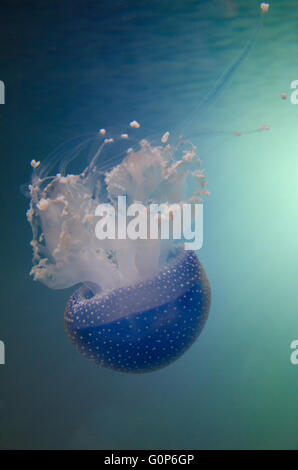 Manchada de Australia medusas