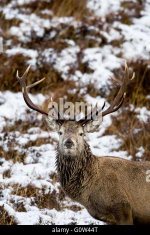 Macho de ciervo rojo Cervus elaphus ciervo con nieve ladera en Escocia. Foto de stock