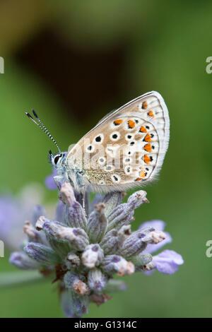 Mariposa Azul común Polyommatus icarus solo adulto alimentándose de flores de lavanda Essex, Reino Unido