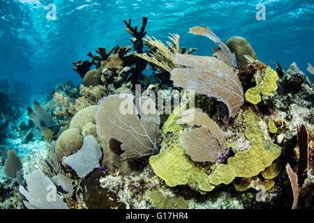 Un hermoso conjunto de corales crece en el Mar Caribe frente a las costas de Belice. Esta región es conocida por su biodiversidad marina.
