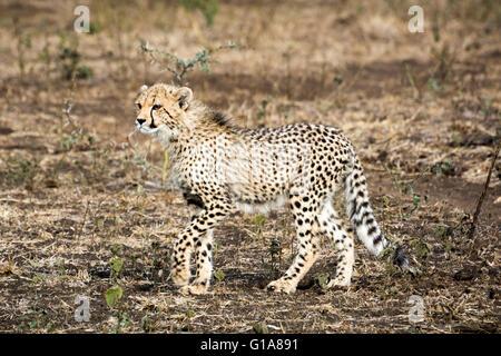 Cheetah cub avistamiento en safari en Phinda Private Game Reserve, KwaZulu Natal, Sudáfrica Foto de stock