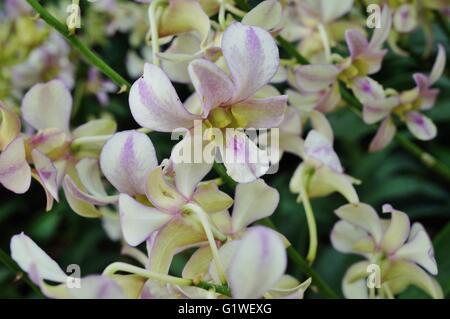 Rosa pálido y blanco flores orquídeas dendrobium