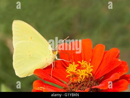 Phoebis sennae macho, sin nubes de mariposas de azufre alimentándose de una Zinnia flor