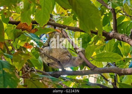 Pereza (choloepus didactylus) moviéndose a través de las copas de los árboles Belem, Brasil