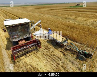 Yuncheng, la Provincia china de Shanxi. El 29 de mayo, 2016. Los agricultores recogen el trigo en los campos de Foto de stock