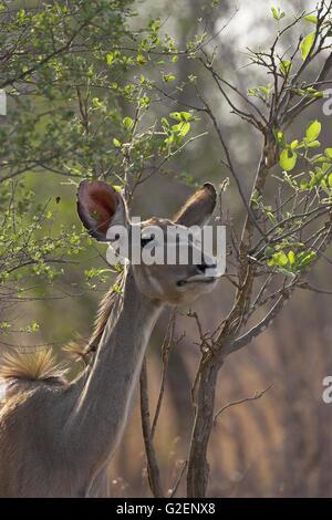 Mayor kudu Tragelaphus strepsiceros hembra navegando por el Parque Nacional Kruger Sudáfrica