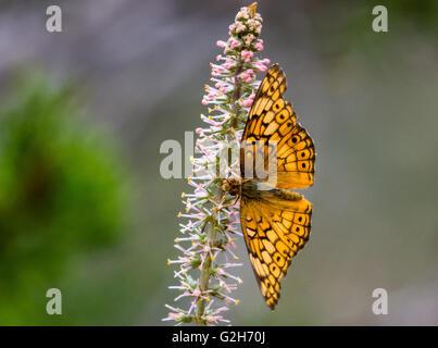 Un abigarrado Speyeria butterfly (Euptoieta claudia) alimentándose de flor silvestre. Texas Hill Country, EE.UU..