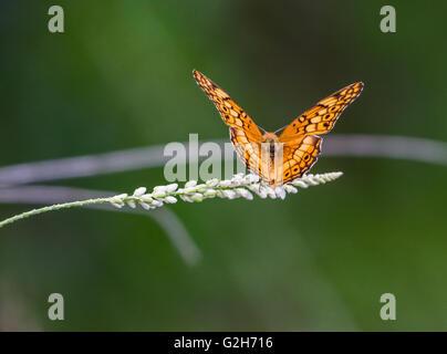 Un abigarrado Speyeria butterfly (Euptoieta claudia) aterriza sobre un césped. Texas Hill Country, EE.UU..