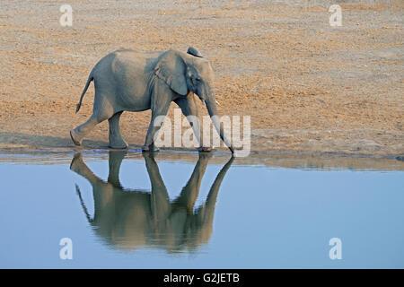 Elefante africano (Loxodonta africana), familia que viene a un abrevadero para beber, el Parque Nacional de Etosha, Namibia, Africa del Sur Foto de stock